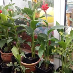 Canna planten in bloei 6,50 per plant.